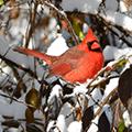 cardinal at Bill Yeck Park