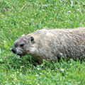 groundhog at Grant Park