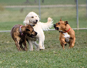 three dogs playing in dog park