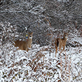 two deer in the snow and trees
