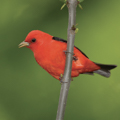 Scarlet Tanager photo by William H. Majoros