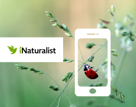 phone icon over lady bug with iNaturalist logo