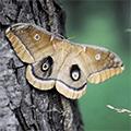 Polyphemus moth on tree