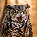 great horned owl opening his beak