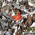 red male cardinal sitting in a snowy bush