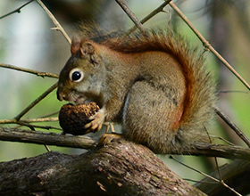 red squirrel at Bill Yeck Park