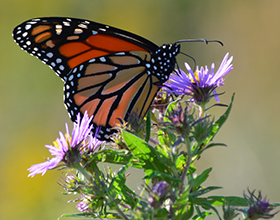 Monarch butterfly on aster in Bill Yeck Park