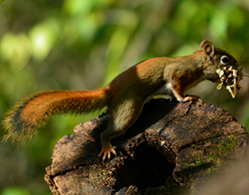 red squirrel on log gathering material for nest at Bill Yeck Park