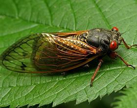periodical cicada by Katja Schulz