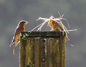 bluebirds with nesting material on next box
