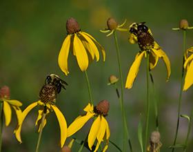bumblebees on grey headed coneflowers