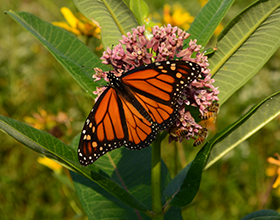 male monarch butterfly on common milkweed, photo by david goldstein